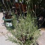 挿し木ラベンダーの成長記録 ~花が咲くまでと、挿し木ラベンダーを上手に育てるコツ~