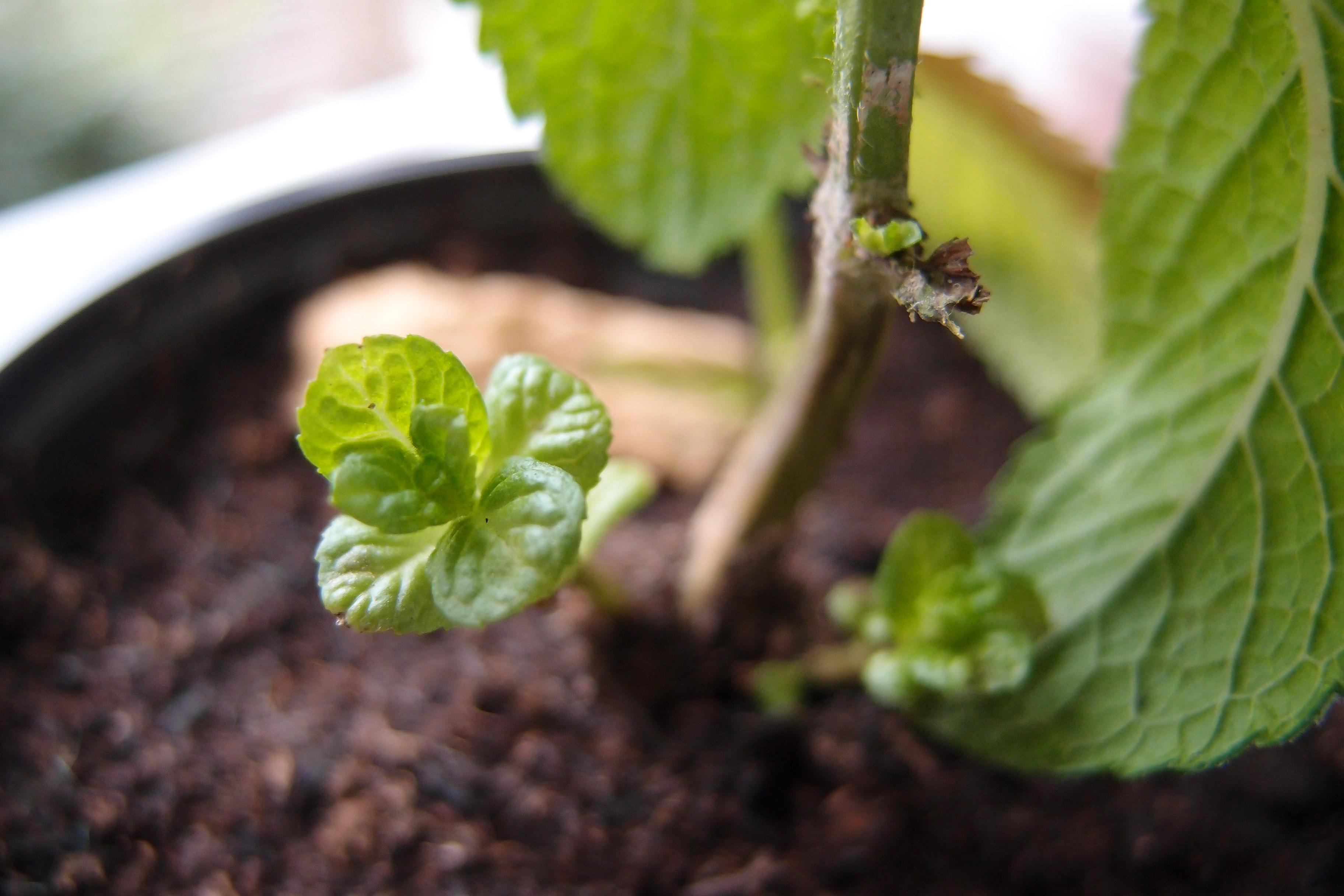 ミントの成長速度は、土と水の質が大きく関係しているのかも(ハーブ育成日記・その2)
